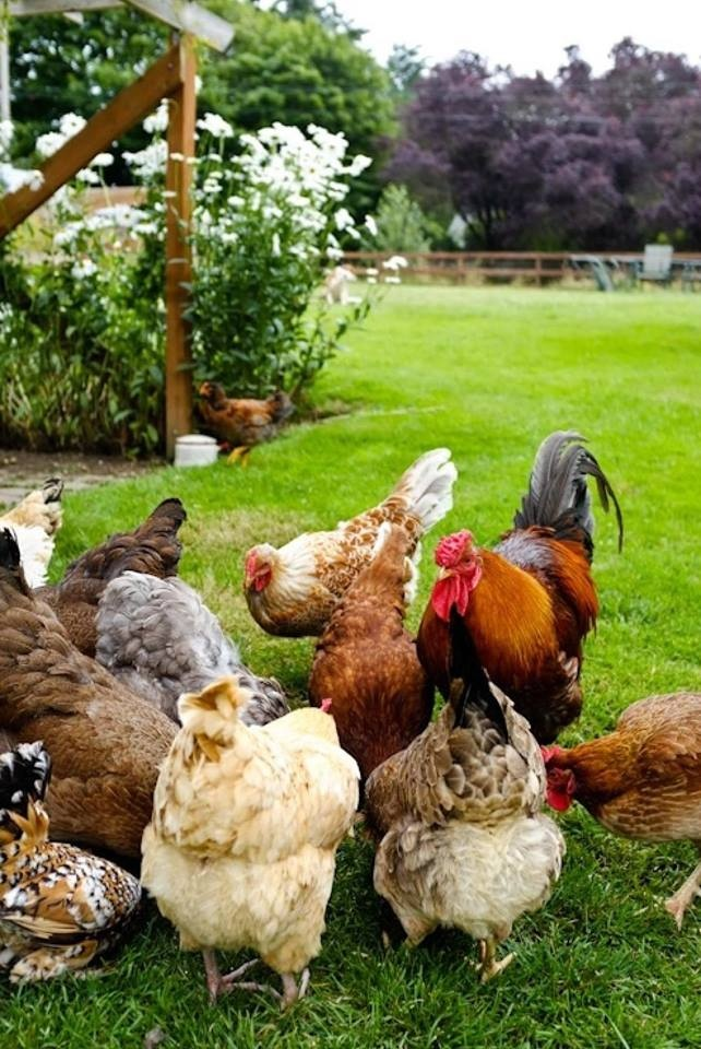 Chicken Farm.  Subsistence Agriculture and Extensive Farming.