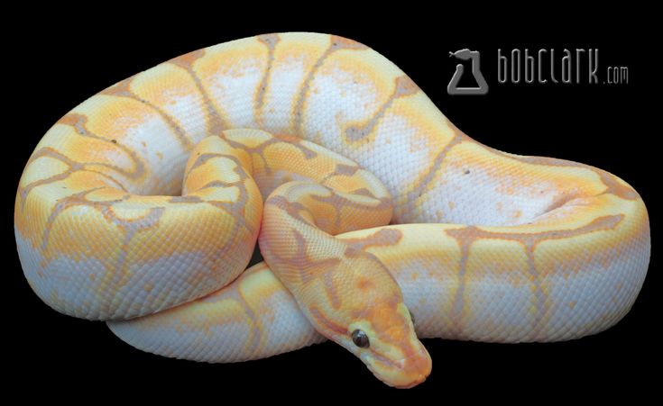 Banana spider ball python - photo#26