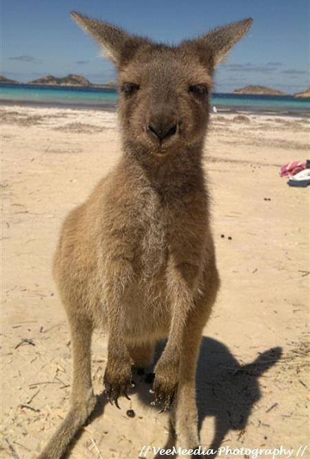 Kangaroo Joey at Lucky Bay, Cape Le Grand NP, Western Australia. Photo by VeeMeedia Photography