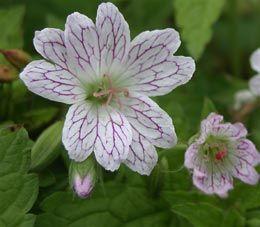 Für Blumenkasten Schatten/Geranium versicolor - Storchschnabel