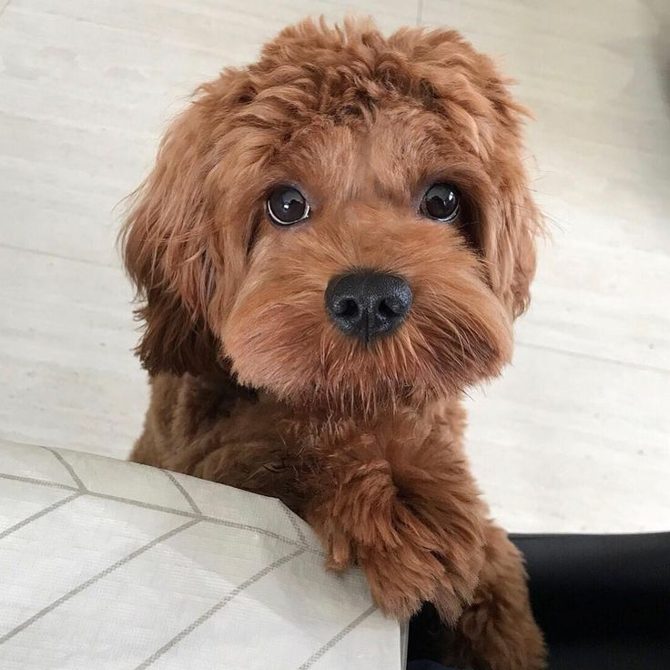 Images of Cavapoo Puppies For Sale - #rock-cafe
