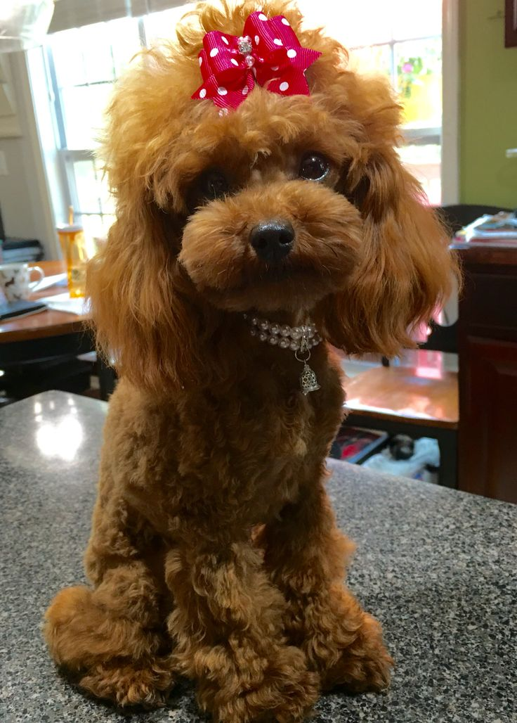 My little Rosie Adeline with her new do! #Poodle #Toy Poodle #Red Toy Poodle