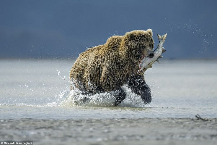 This image snapped at Lake Clark National Park in Alaska got Riccardo Marchegiani from Italy shortlisted for the Young OPOTY: 'It was a rainy day in the park and bears were all around us. Some were sleeping while others were busy fishing. The one in this photograph was running because other bears that wanted a salmon he had just caught and were chasing him'