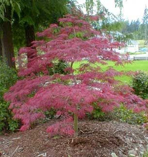 'Tamukeyama' Purple Laceleaf Japanese Maple - an alternative to my favorite, the Emperor I Japanese Maple