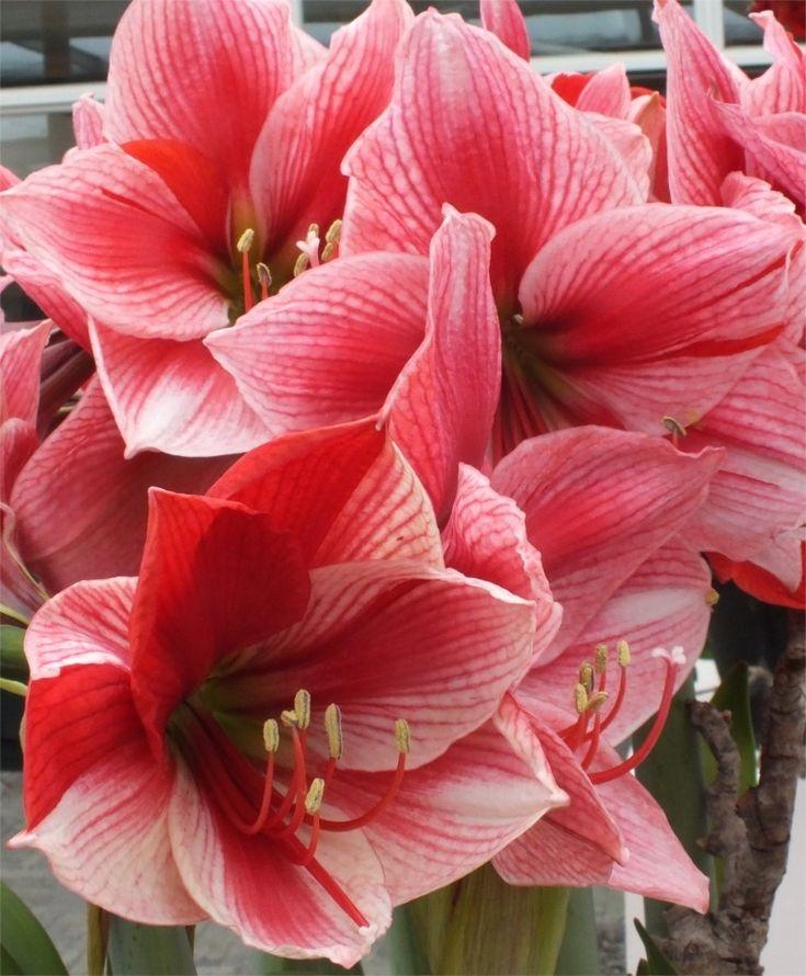 Po et n padov na t mu exotick kvety na pintereste 17 for Amaryllis royal red entretien