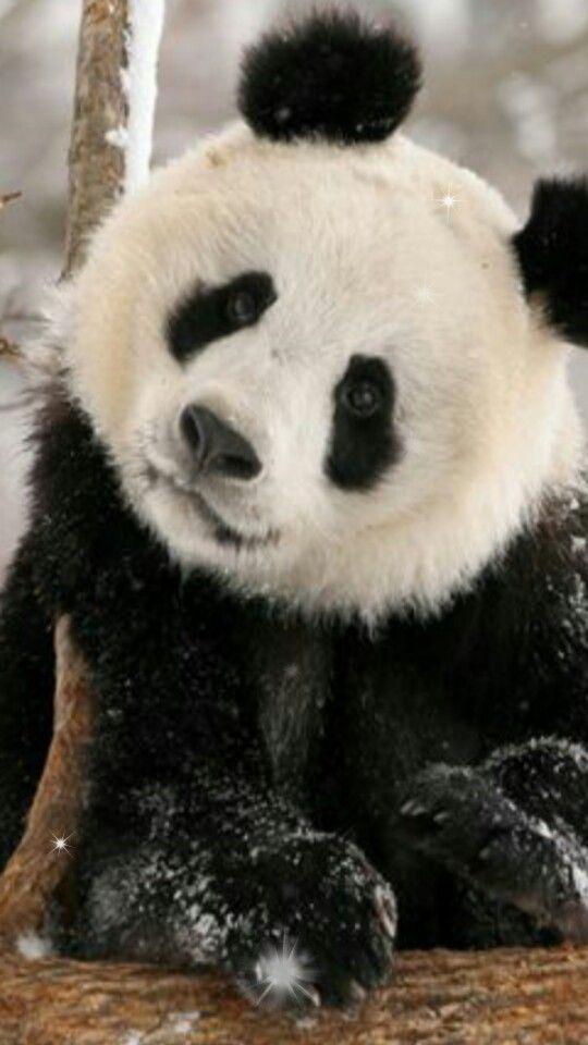 les 1249 meilleures images du tableau pandas 2 sur pinterest animaux mignons panda et animaux. Black Bedroom Furniture Sets. Home Design Ideas
