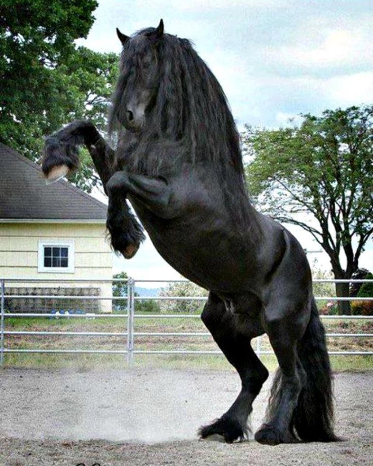 Friesian horse stallion, Dreams are full of beautiful stallions like these <3