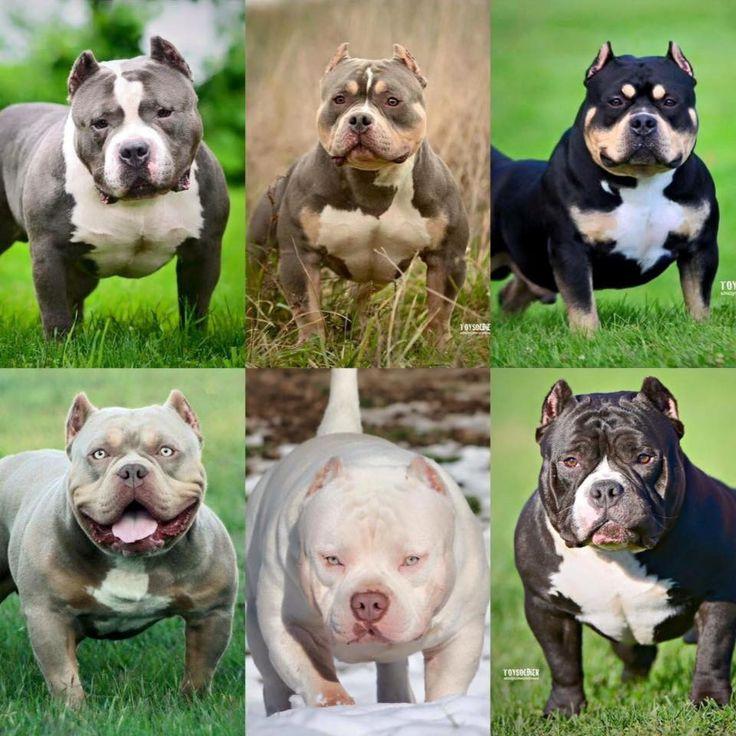 Pocket Bully Dog Breed