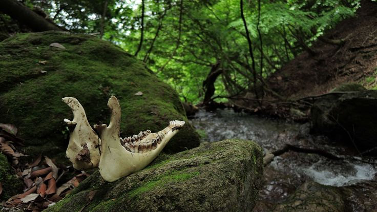 #animal #arboretum #asia #autumn #bone #buddha #death #forest #forest animals #japan #landscape #light #mountain #mountain climbing #mysterious #natural #plant #river #small animals #training #water #wood #woods