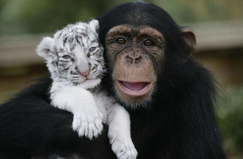 Awww, White Tigers, Best Friends, Bff S, Bffs, Nice Kitty, Baby Tigers, Friends 3, Animal