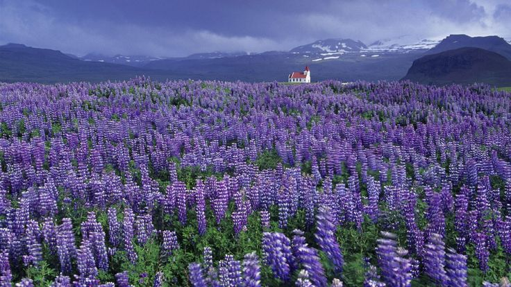 Lupine Wallpapers Iceland Wallpaper Winter HD Wallpaper, Hd Shark Wallpaper, Lupine, Wallpapers, Iceland, Wallpaper, Winter 1920x1080px ~ Fr...