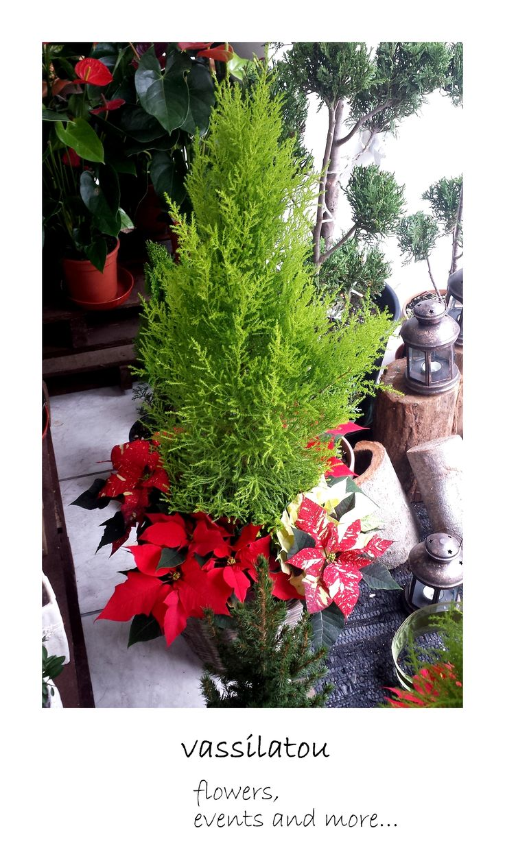 christmas plant arrangement in basket www.vassilatou.gr flowers, events and more...