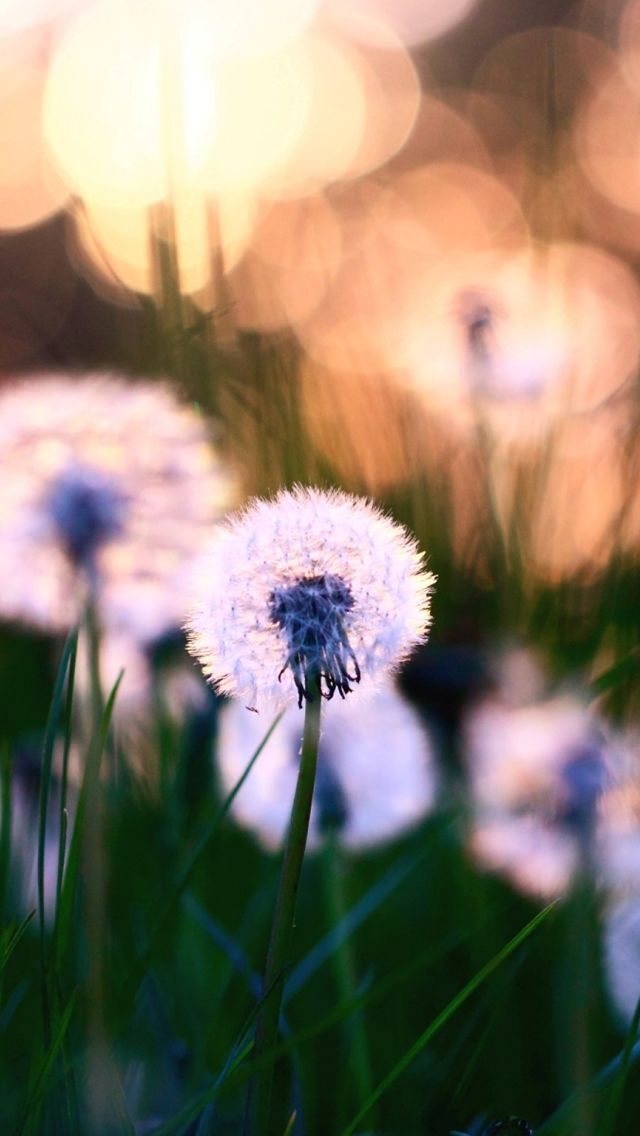 Dandelions Macro iPhone 5 Wallpaper