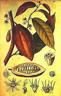 LATIN AMERICA:   THE LORE & HISTORY OF CHOCOLATE (MC) An old picture showing how the cocoa pod looked on the tree and how the cocoa beans looked inside.