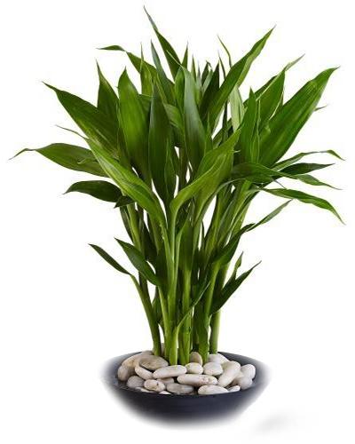 Bambú de la suerte de grandes hojas • Lucky bamboo with big leafs