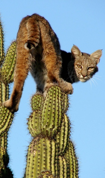 Image result for pics desert bobcats cactus