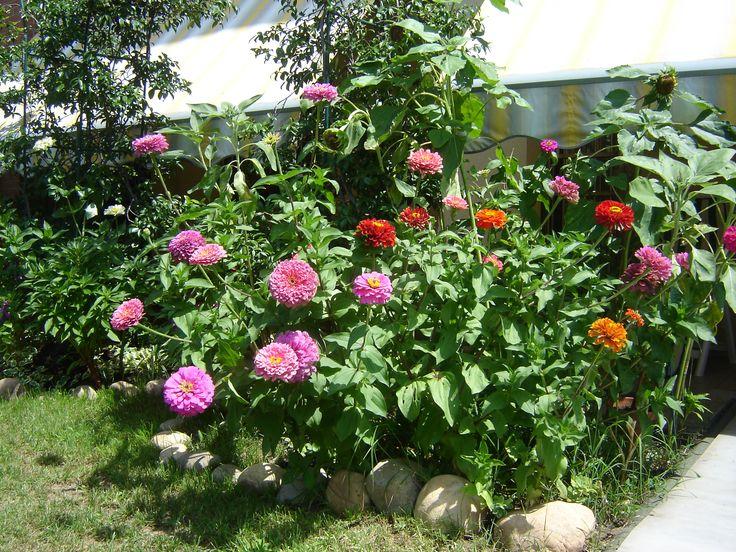 mio giardino: zinnie