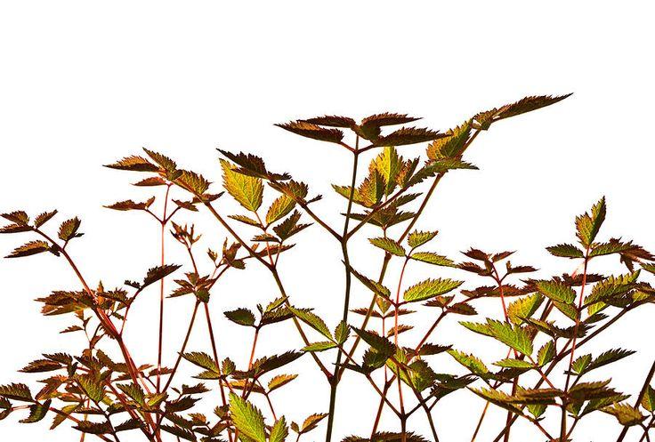 Natalya Myachikova  Photograph # Graceful Leaves Illuminated By The Sun by Natalya Myachikova#Natalya Myachikova Fine Art Photography # Spring#Astilbe#flowers#White background#Art For Home#Fine Art Prints#InteriorDesign