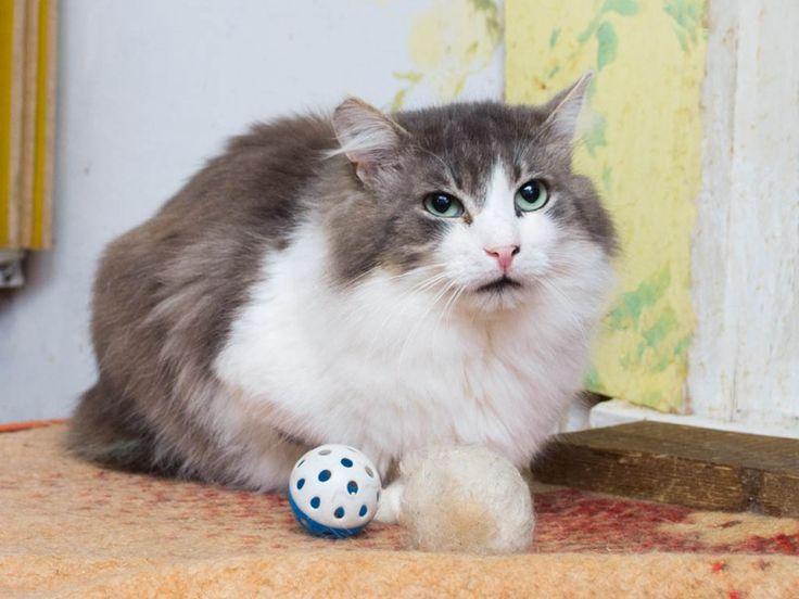 Пушистый красивый кот Матвей в хорошие руки | Кот в Окошке #бездомные #животные #кошки #коты #котята Им нужен дом.