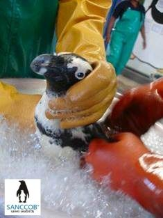 African Penguin getting oil washed off @SANCCOB