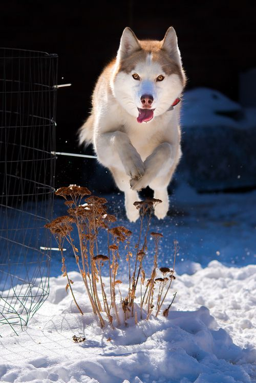Red Siberian husky in action