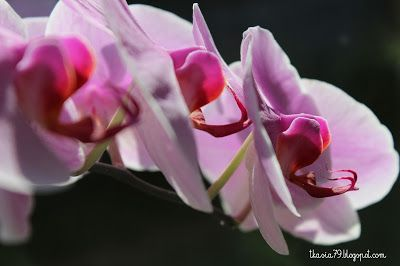 Storczyk / Orchid