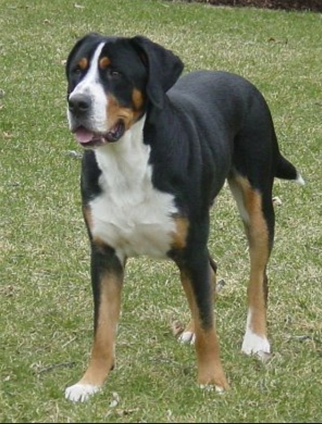 Swiss Mountain Dog...like a Bernese but short hair. Best temperament ever- I want one. Now.