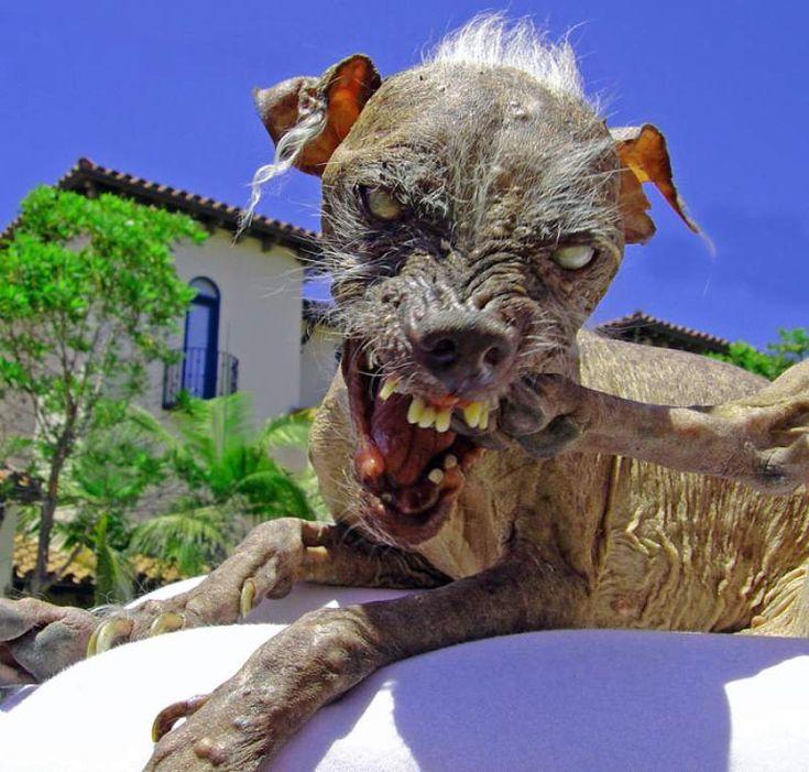 Sweeet Sam, a Chinese Crested... Personally... this is just wrong. To even have people who enthusiastically breed dogs for the sole purpose of winning the ugliest dog in the world contest... Don't, just don't. Petaluma ugly-dog contest film to show in S.F. festival.