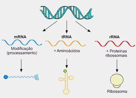 6- A  partir do DNA são transcritos vários tipos de RNA: O RNA que leva a mensagem do DNA (RNA mensageiro), o RNA que transporta aminoácidos  (RNA transportador) e o RNA que compõe com proteínas os ribossomos (RNA ribossômico). Na transcrição ocorre a produção do RNAm.