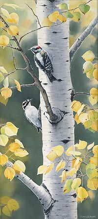 Susan Bourdet - Downy Woodpecker