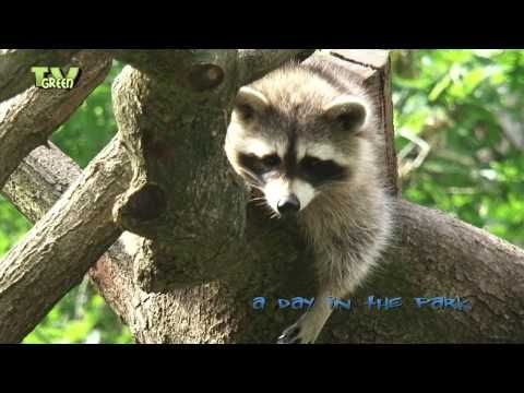 A day in the park: Raccoon - Wasbeer - Procyon lotor - YouTube