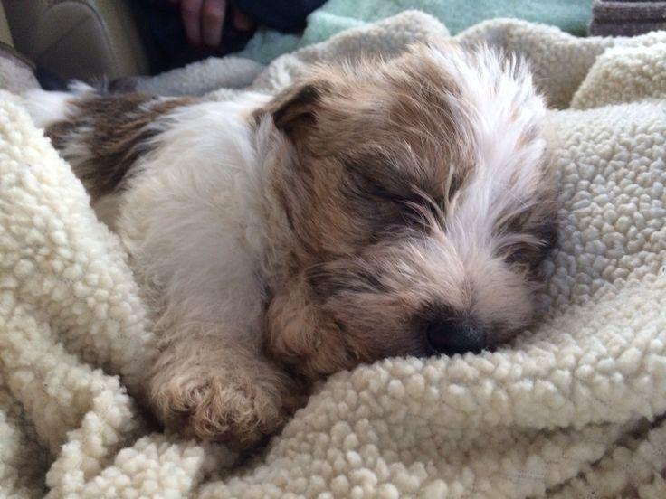 Sporting lucas terrier puppy - Tattie