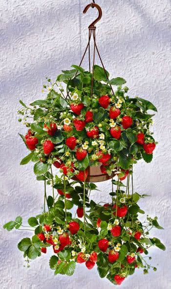 Strawberry Gardening