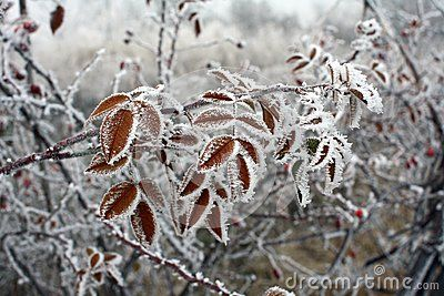 Branch of brier cover in hoarfrost