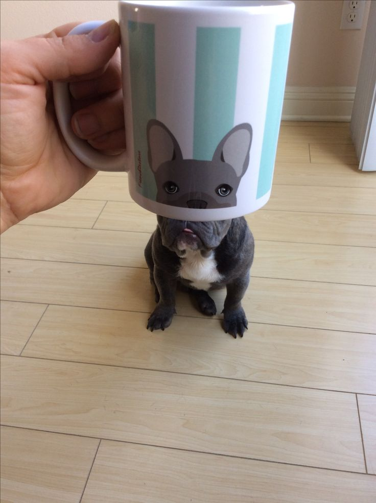 """""""You can't see me""""... """"tee hee hee"""", funny French Bulldog Puppy❤"""