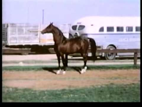 Rare video footage of the magnificent Arabian stallion *Bask, (Witraz x Balalajka), imported from Poland, one of the most influential sires of all time.  I was distracted by the height of the fence though. He looks like he could hop right over it!