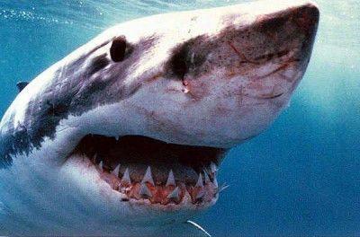 Great White Shark Facts For Kids   Great White Shark Habitat & Diet