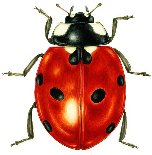 7 spot ladybird entomological illustration by Lizzie Harper