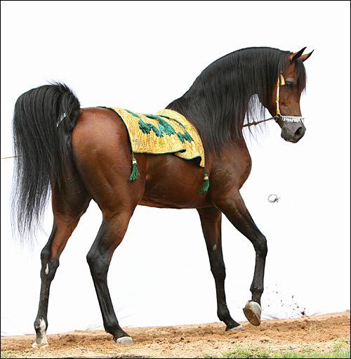 Marwan Al Shaqab, the most beautiful horse in the world.