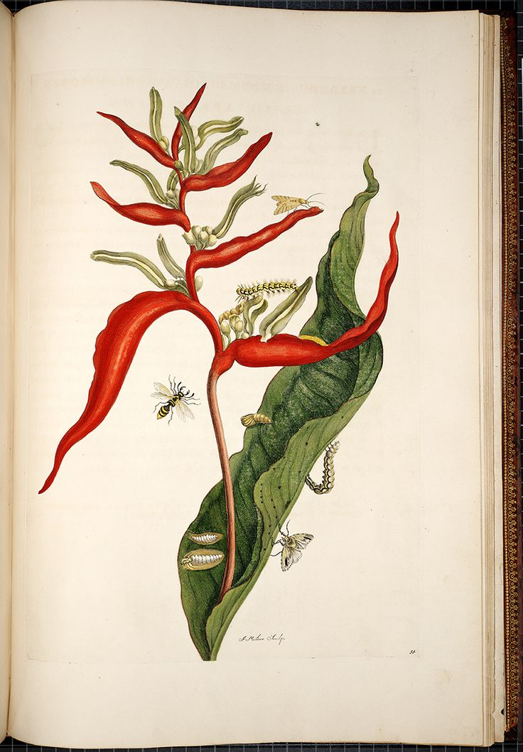 Maria Sibylla Merian Metamorphosis insectorum surinamensium [Transformations of the insects of Surinam] , [1705],  Image number:SIL33-05-55