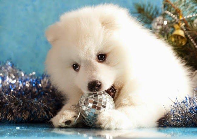 Psy rasy samojed