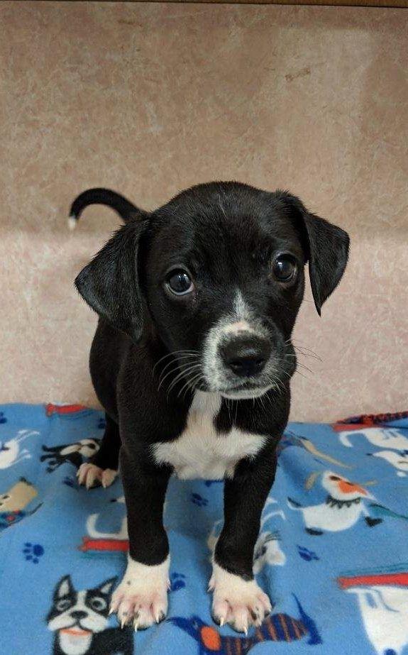 Adopt Vex On Lab Mix Puppies Animal Rescue Pet Supplies Plus