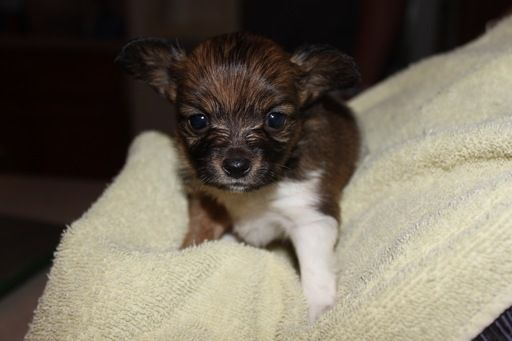 Litter of 4 Papillon puppies for sale in WESTON, MO. ADN-30501 on PuppyFinder.com Gender: Female. Age: 5 Weeks Old