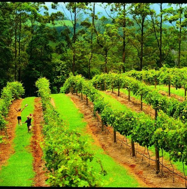 Vineyards, Sunshine Coast, Australia