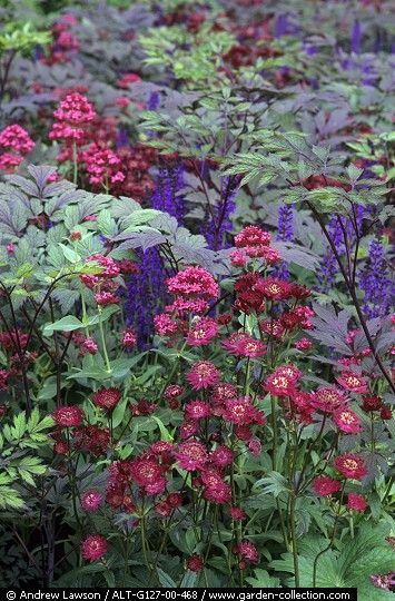 Purple and red border with Astrantia - I do have something similar, a combination of masterwort 'Rubra' with black snakeroot 'Pink Spike' and blue cranesbill 'Brookside', just need it in larger scale though :)