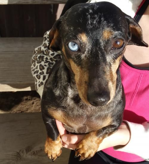 Asia ~ mini dapple's web page on Dachshund Rescue of Los Angeles 04/30/2017