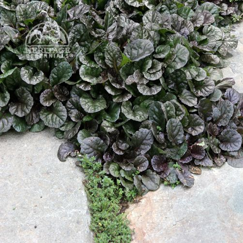 Ajuga 'Catlin's Giant- BUGLEWEED- like the purple flowers and that stays small, but totally took over whole bed  and had to pull vines out!! even grew over rocks