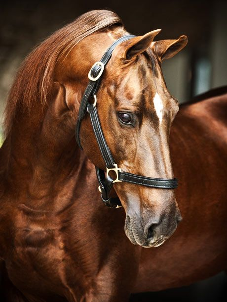Appelsdam Wee Pee's Lover shows classic Saddlebred refinement in his profile. He also stands at Cavalli Estates in South Africa.