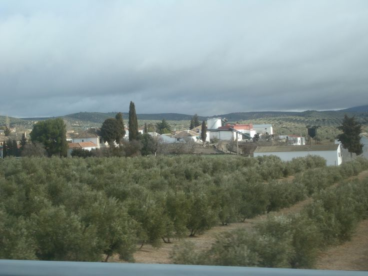 Olivos de Jaén.