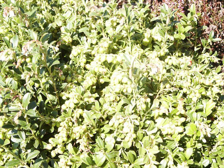 Vaccinium vitis idaea Koralle